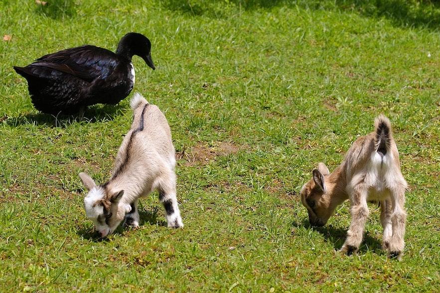 En husdyrpark der barna kan komme i kontakt med vakre, unge dyr