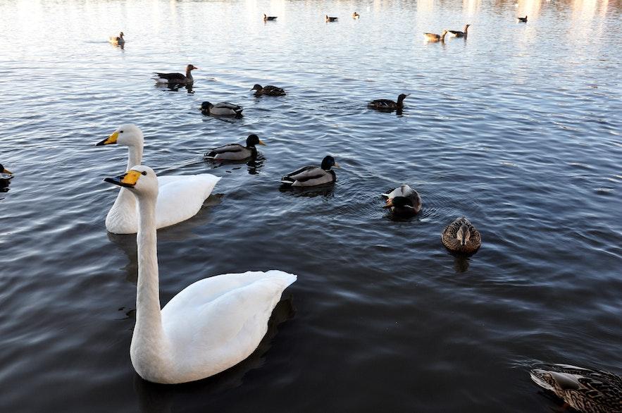 Вечно голодные лебеди на озере Тьортнин в центре Рейкьявика
