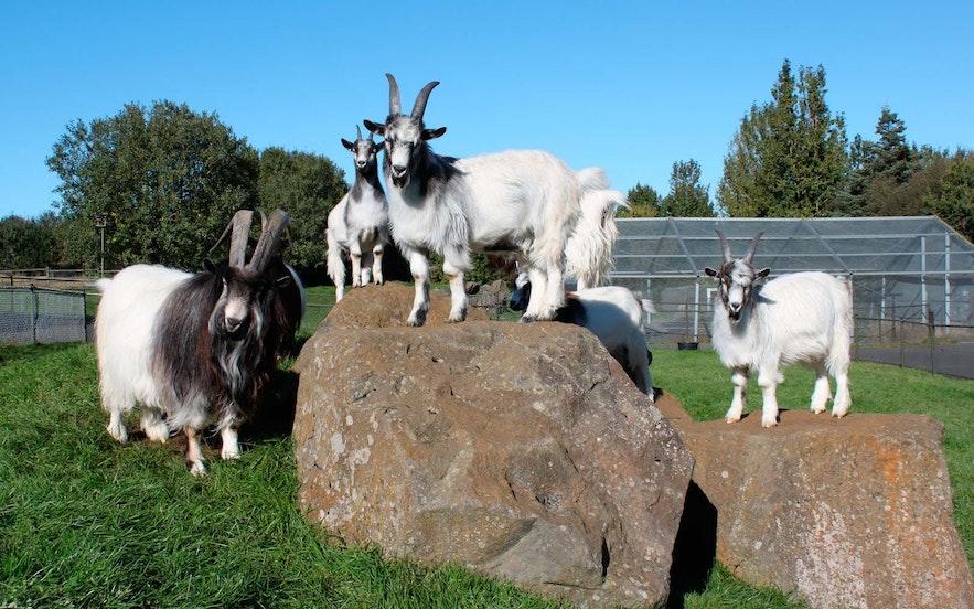 Een geitenfamilie in het familiepark en de dierentuin van Reykjavík