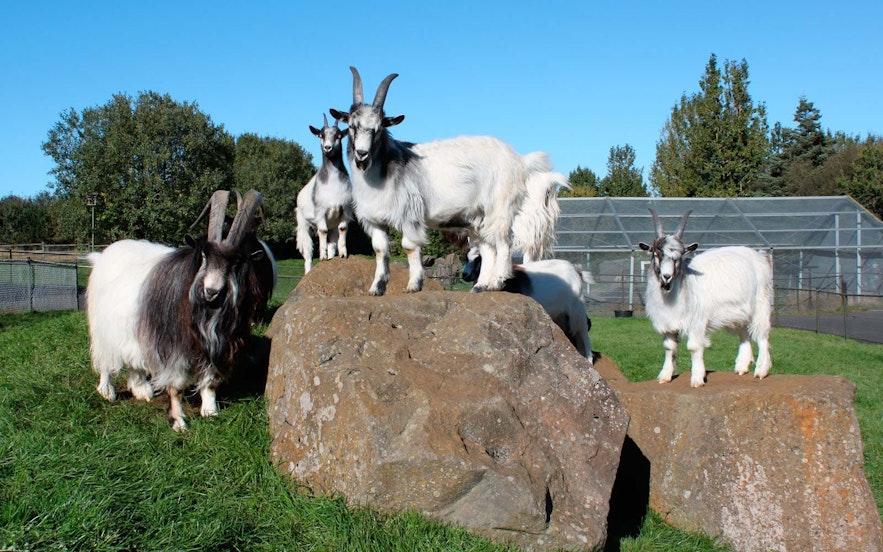 En gruppe geiter i familieparken og dyrehagen i Reykjavík