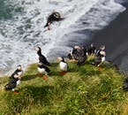 Dyrhólaey peninsula on the South Coast is teeming with puffins in the summer.