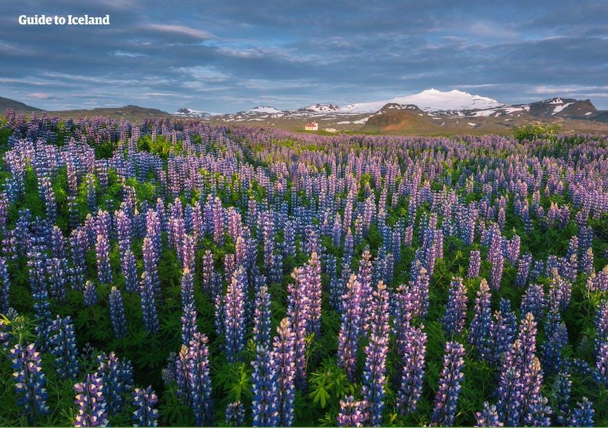 スナイフェルス氷河とルピナスの花畑