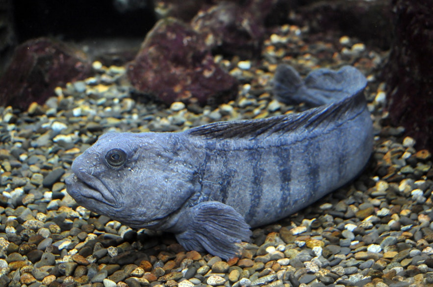 An Atlantic Catfish resting on a seabed.