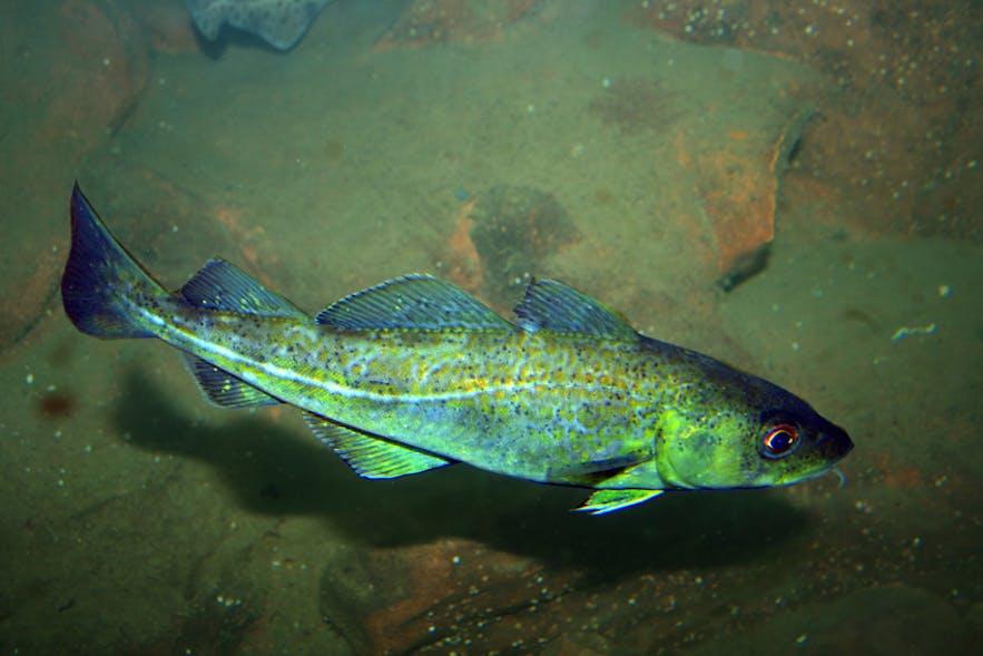 An Atlantic Cod