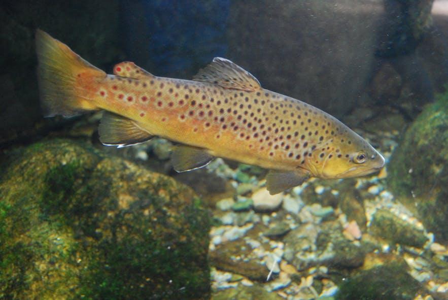 A captive brown trout