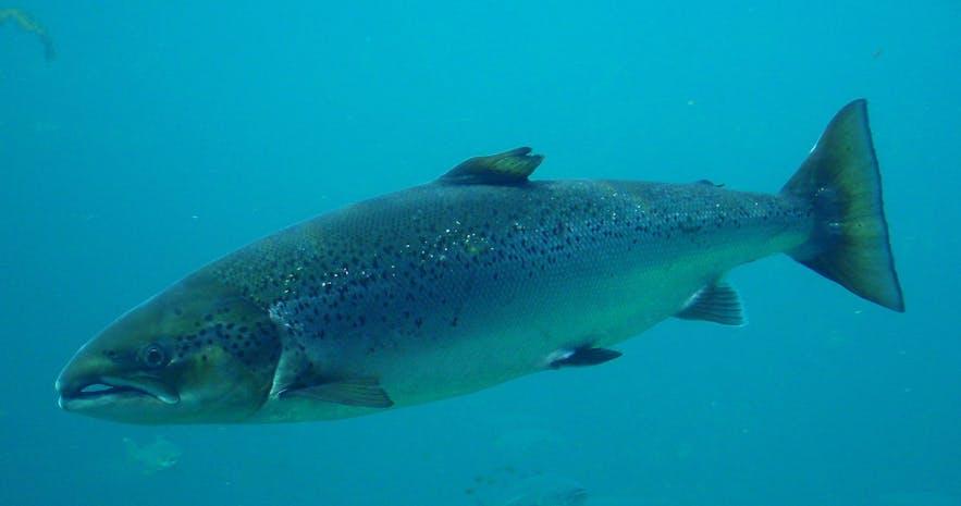 대서양 연어