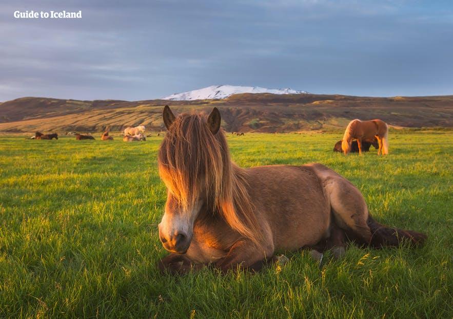 Kuce islandzkie odpoczywające na łące