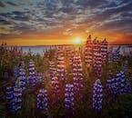 I fiori viola del lupino sono comuni in Islanda.