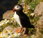 Puffins nest at Dyrhólaey during the summer months.