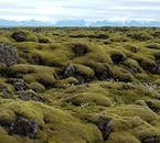 One of South Iceland's lava landscapes, covered in moss and wildflowers.