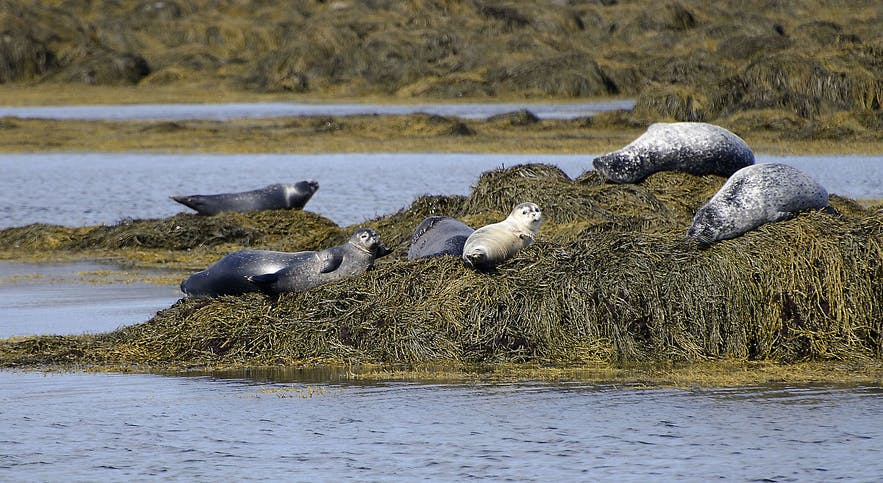 Seals hauling out at Ytri Tunga