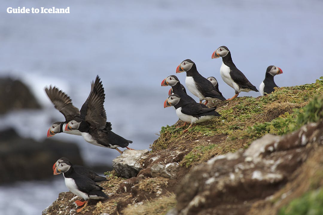 A group of puffins descending from the bird cliff Látrabjarg in the Westfjords of Iceland.