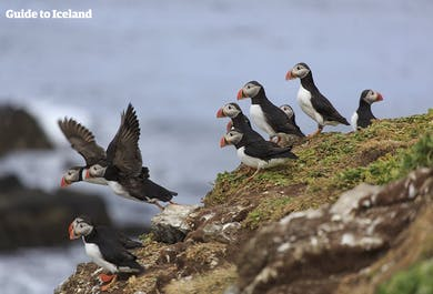 Westfjords Bird Watching | Puffins and More