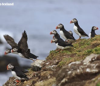 Westfjords Bird Watching   Puffins and More