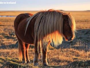 レイキャビク発|白夜を楽しむ乗馬体験