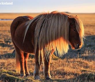 レイキャビク発 白夜を楽しむ乗馬体験