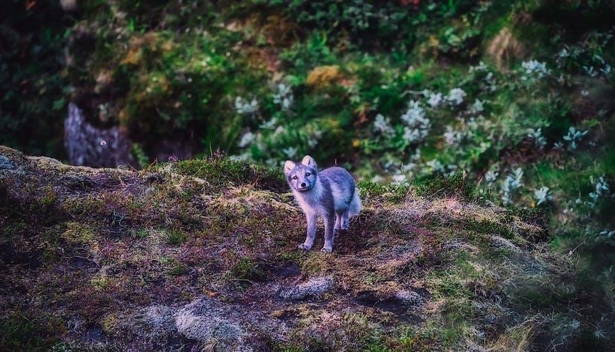 Hornstrandir ist ein Naturschutzgebiet und beherbergt eine große Population von Polarfüchsen; der Polarfuchs ist Islands einziges einheimisches Säugetier.