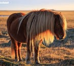 This Icelandic horse has a lush blonde mane that is glowing in the midnight sun.