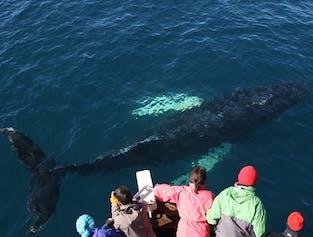 Whale Watching at Skjálfandi Bay   Husavik Wildlife Tour