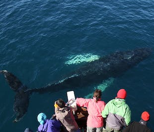 Whale Watching at Skjálfandi Bay | Husavik Wildlife Tour