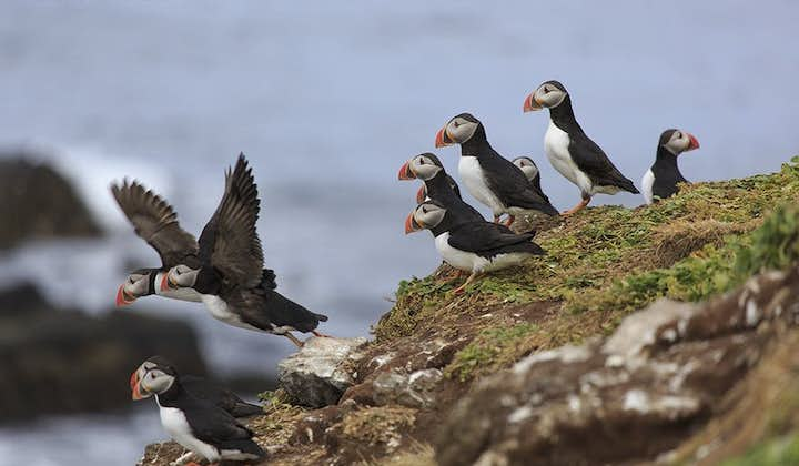 Puffins are one of Iceland's most recognizable residents.