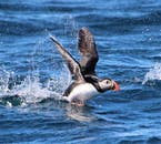 Puffins are known to nest in Iceland at certain times of the year.