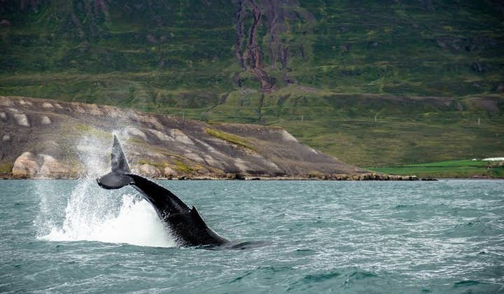 A whale breaching off the waters of Iceland.
