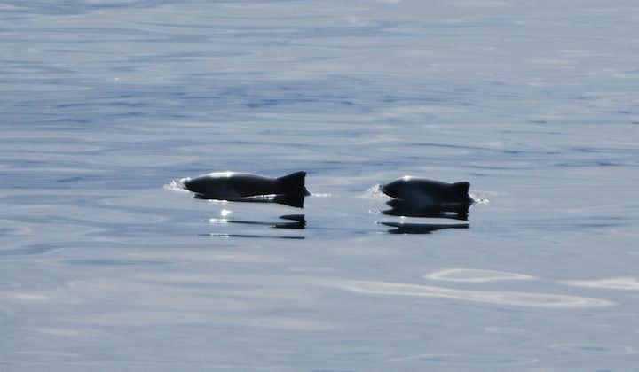 Harbour Porpoises are the smallest cetacean found around Iceland.