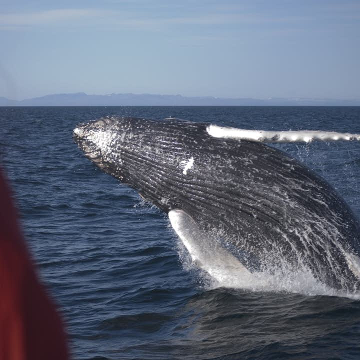 Humpback Whales are the acrobats of the sea.