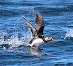 A North Atlantic puffin skirting across the water surface.