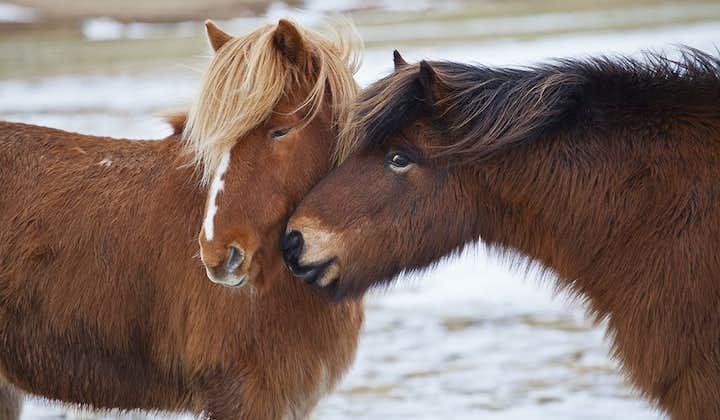 Islandzkie konie to rasa wyjątkowo towarzyska i ciekawska.