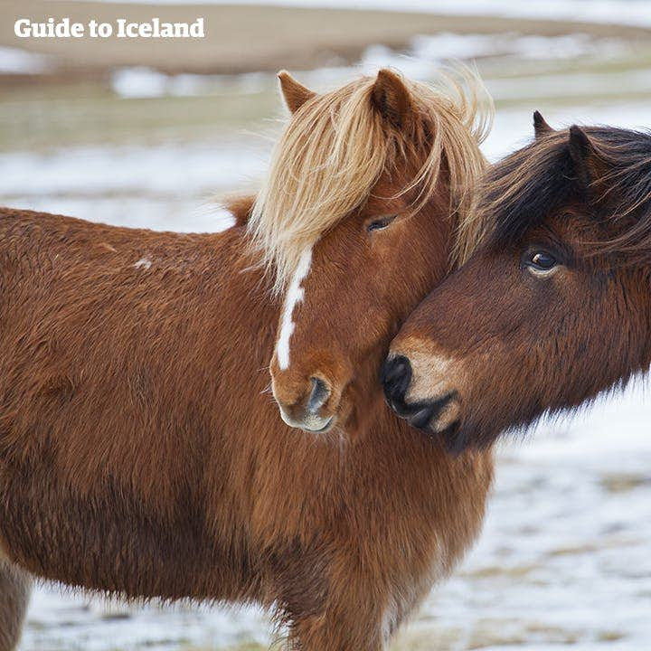 Sociable, gregarious and playful, Icelandic horses really are a unique breed.