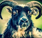 The Icelandic sheep is a unique breed, brought to the country over a thousand years ago with the Viking settlers
