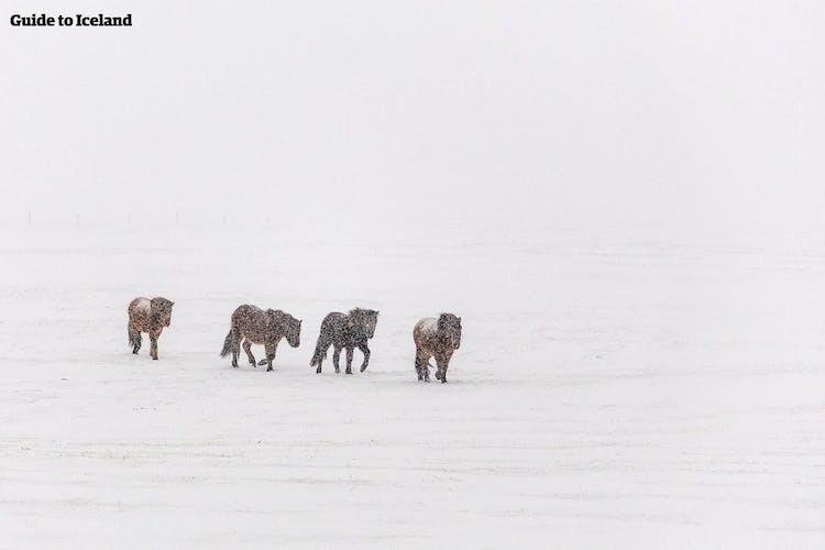 厳しいアイスランドの寒さに耐えるアイスランドの馬