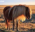 An Icelandic horse enjoying the heights of summer.
