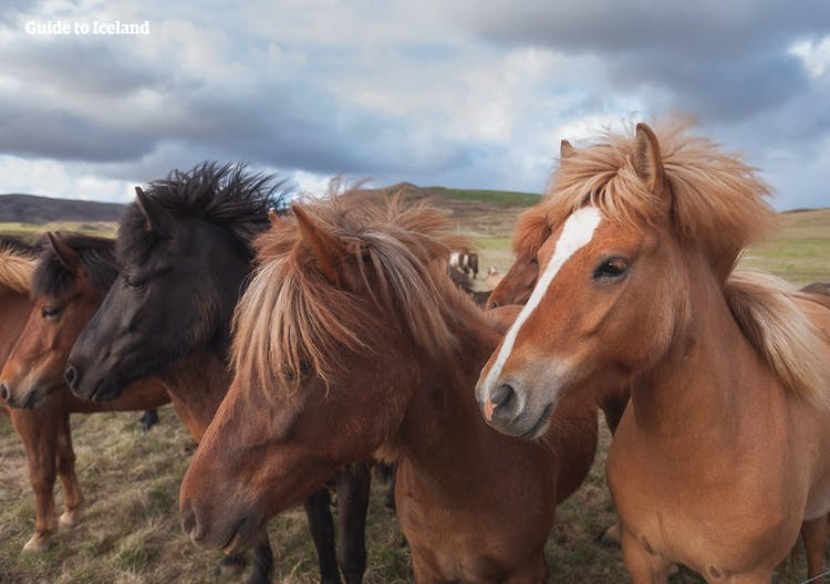 You might spot a few Icelandic horses grazing in the country on your self-drive tour