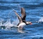 Les excursions d'observation des baleines offrent également la possibilité de voir des oiseaux marins tels que le macareux.
