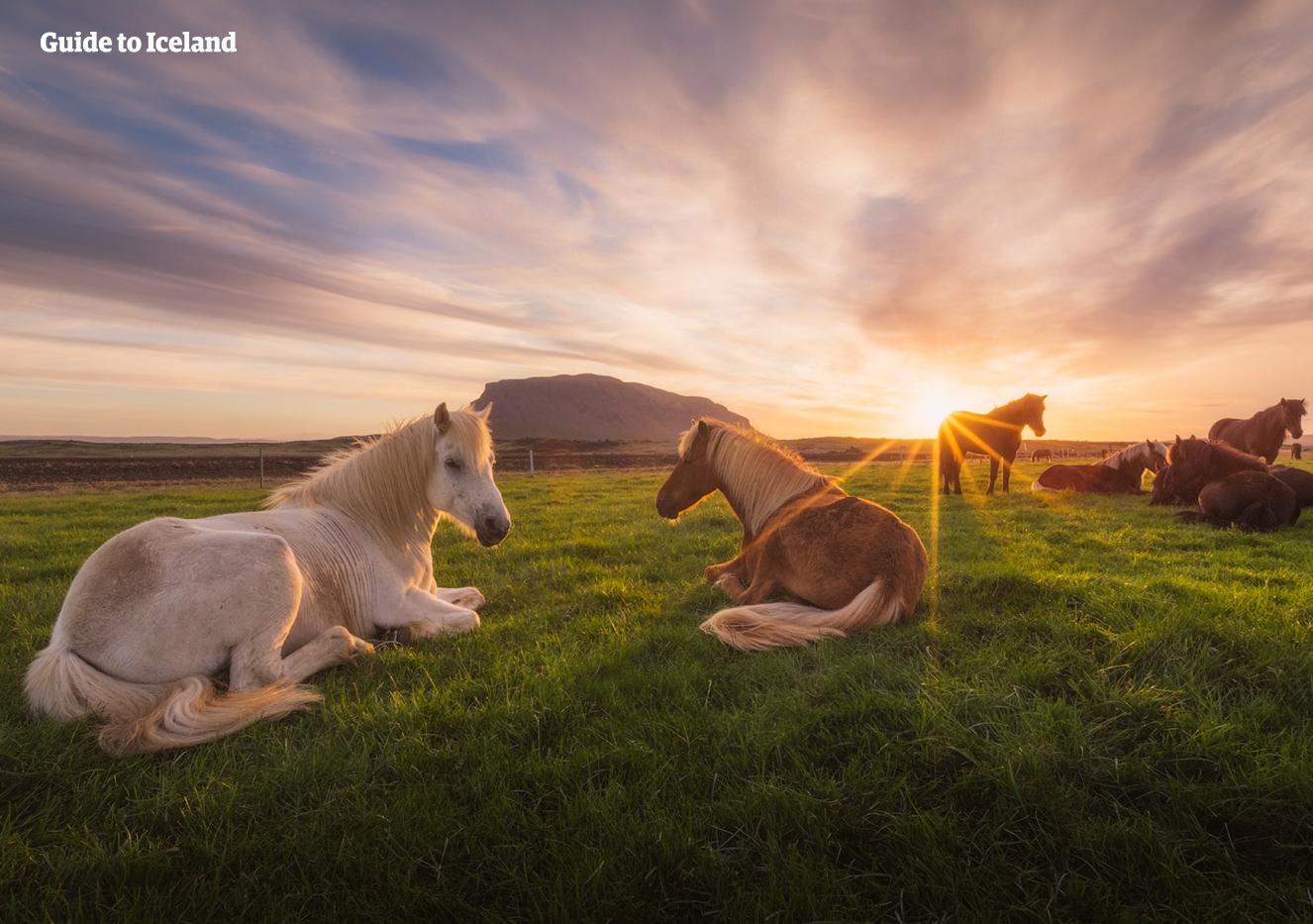 在有午夜阳光照耀的夜晚躺在草地上的冰岛马