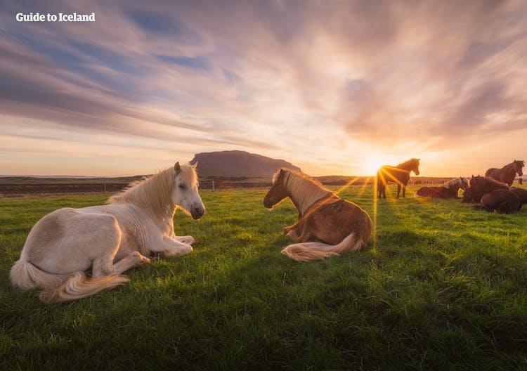 Icelandic horses lazing under the midsummer night sky.