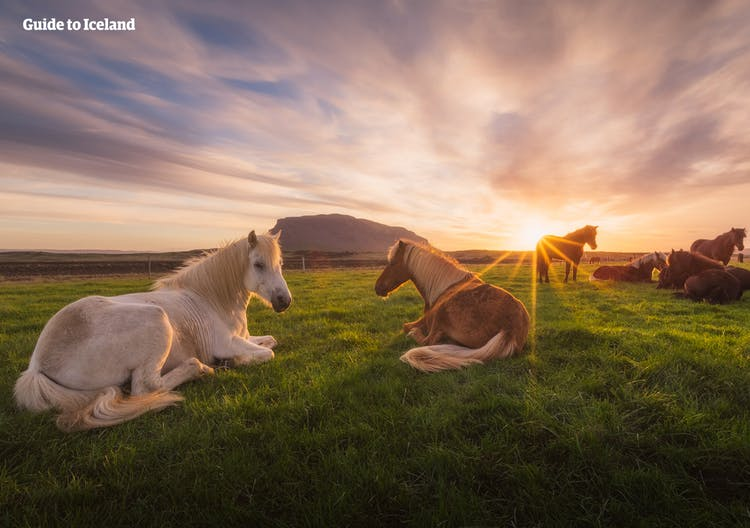 Icelandic horses lazing under the midsummer night sky.