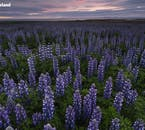 Fields of lupins, a plant introduced to limit soil erosion, coat much of south Iceland throughout summer.