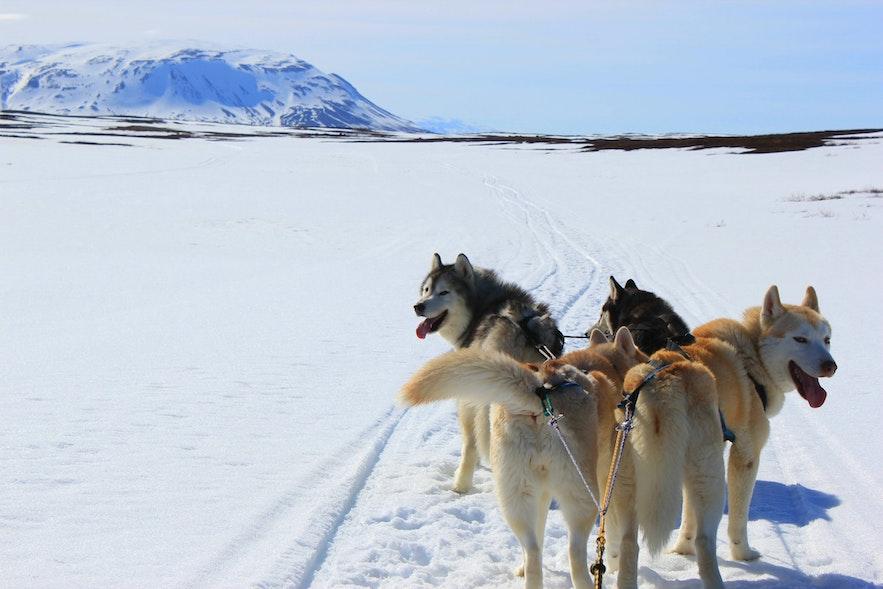 Jazda psimi zaprzęgami w okolicach jeziora Mývatn w północnej Islandii jest możliwa zimą.
