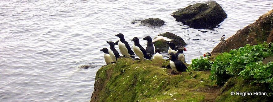 Birds on Drangey island