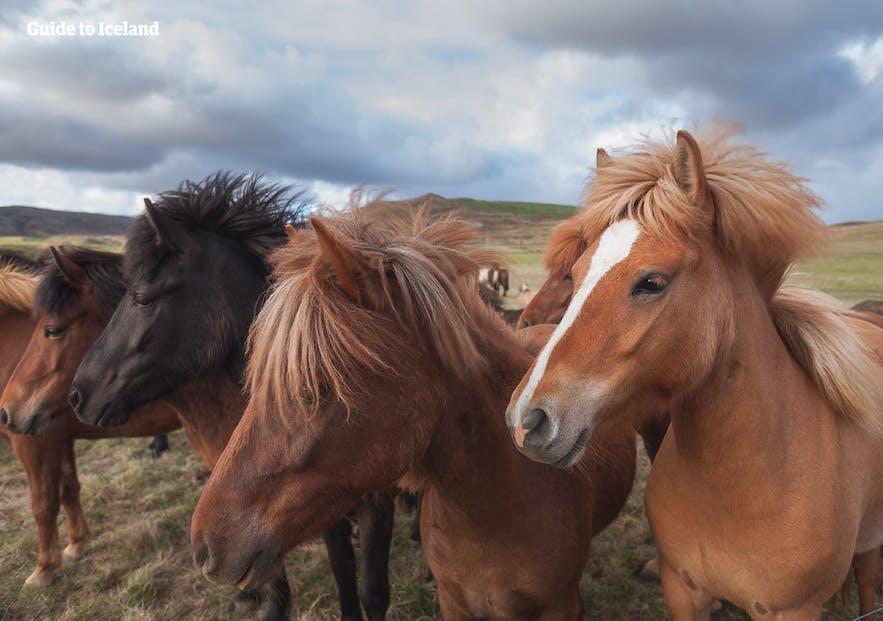 Icelandic horses in the wild nature