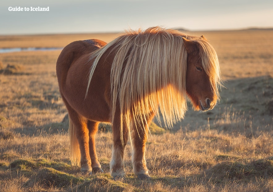Icelandic horses are gentle enough for children to ride