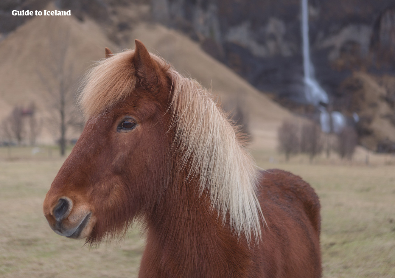 A red horse with a blonde mane standing in front of a waterfall in Iceland.