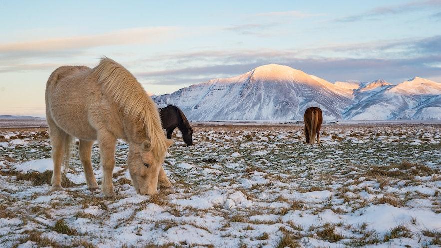 冰島冬季冰島馬
