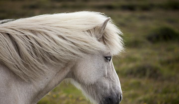 The Icelandic horse is not only beautiful to look at, but a pleasure to know.