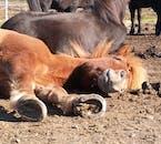 An Icelandic horse enjoying the dirt on a sunny summer's day in Hafnarfjörður.