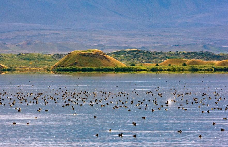 Es gibt viele Enten am See Mývatn; der See ist ein Paradies für Vogelkundler
